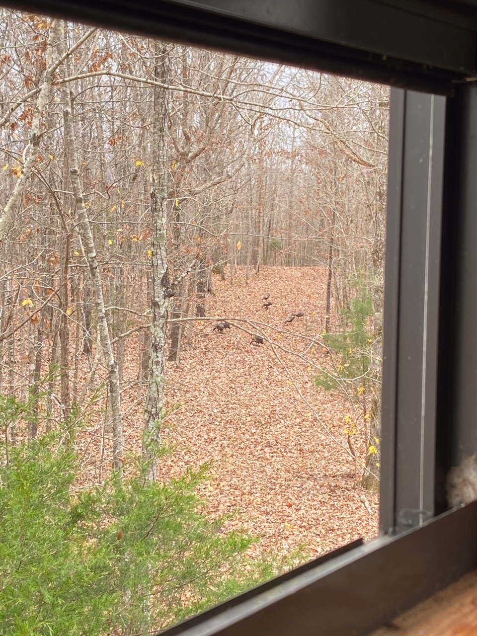 We had lots of turkeys visit us during deer season... hopefully they'll visit again in the spring! Who is ready for turkey season?