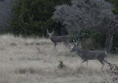 Two Texas Bucks 1200